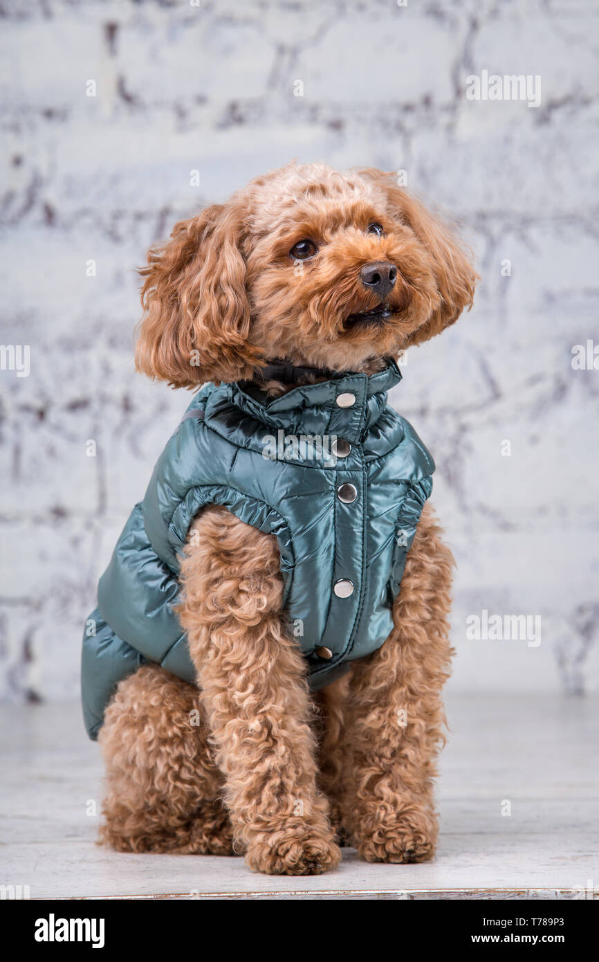 Small Funny Dog Of Brown Color With Curly Hair Of Toy Poodle Breed Posing In Clothes For Dogs Subject Accessories And Fashionable Outfits For Pets S Stock Photo Alamy