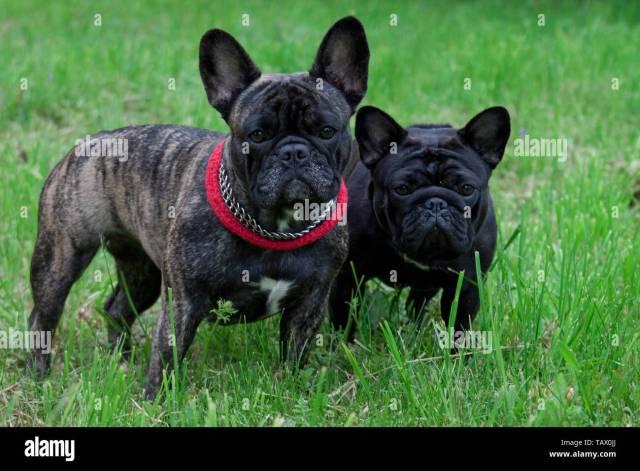 french bulldog tail stock photos & french bulldog tail stock
