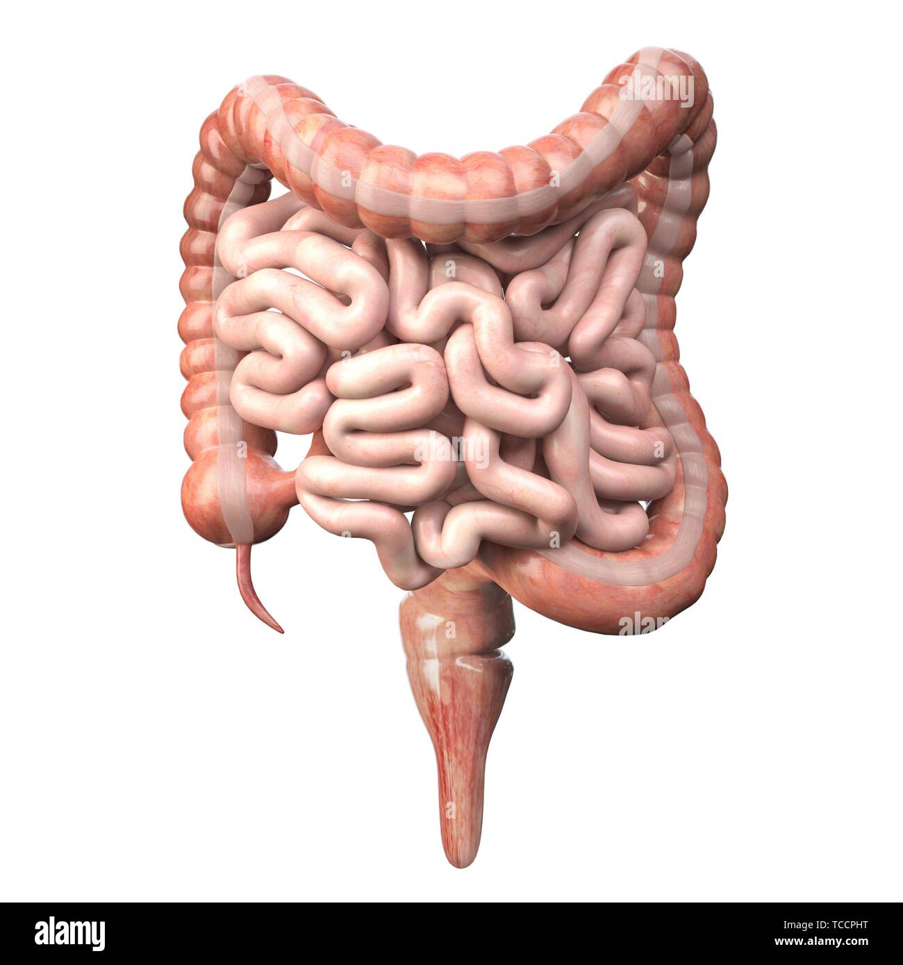 Digestive Small Large Intestine Drawing High Resolution