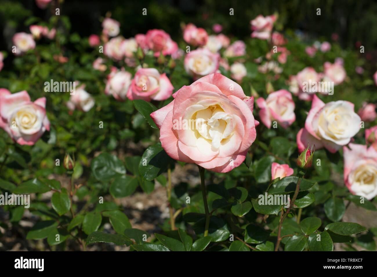 Hybrid Tea Roses Stock Photos Hybrid Tea Roses Stock Images Alamy
