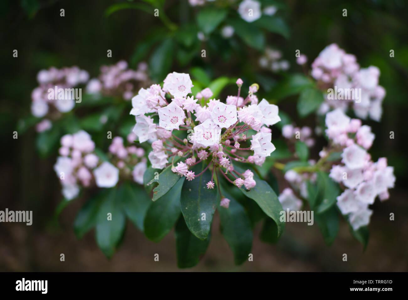 Kalmia Stock Photos Kalmia Stock Images Alamy