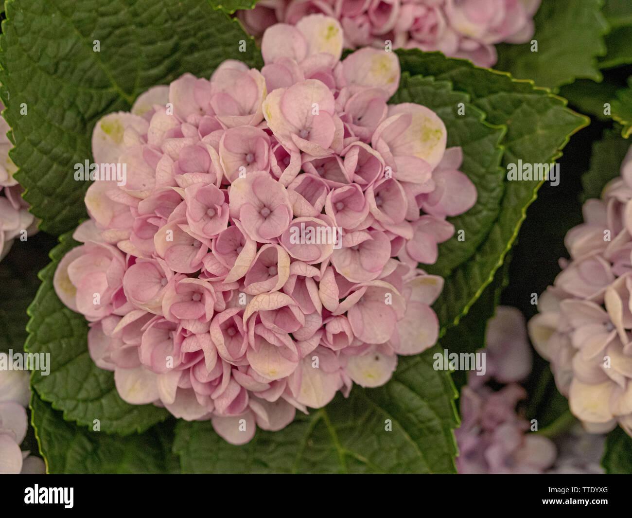 Hydrangea Macrophylla Stock Photos Hydrangea Macrophylla Stock