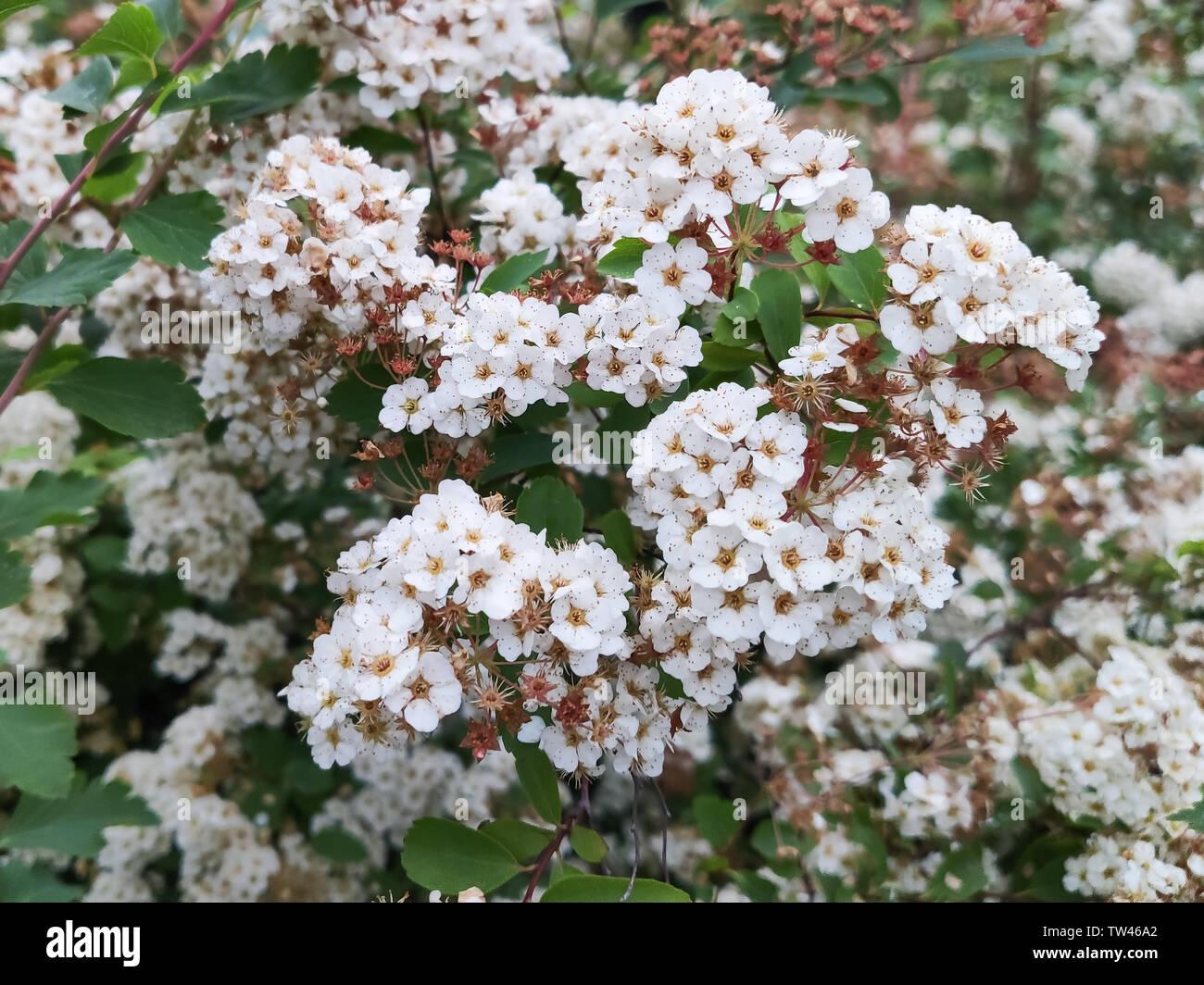 Spiraea Vanhouttei Stock Photos Spiraea Vanhouttei Stock Images