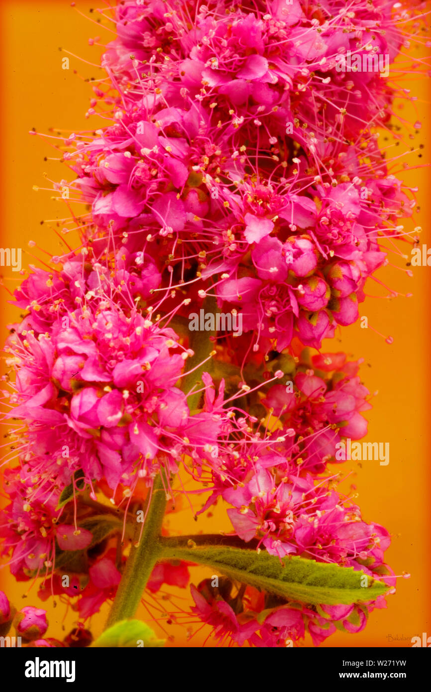 Pink Beautiful Flower Blossom Macro Background And Wallpapers In Top High Quality Prints Stock Photo Alamy