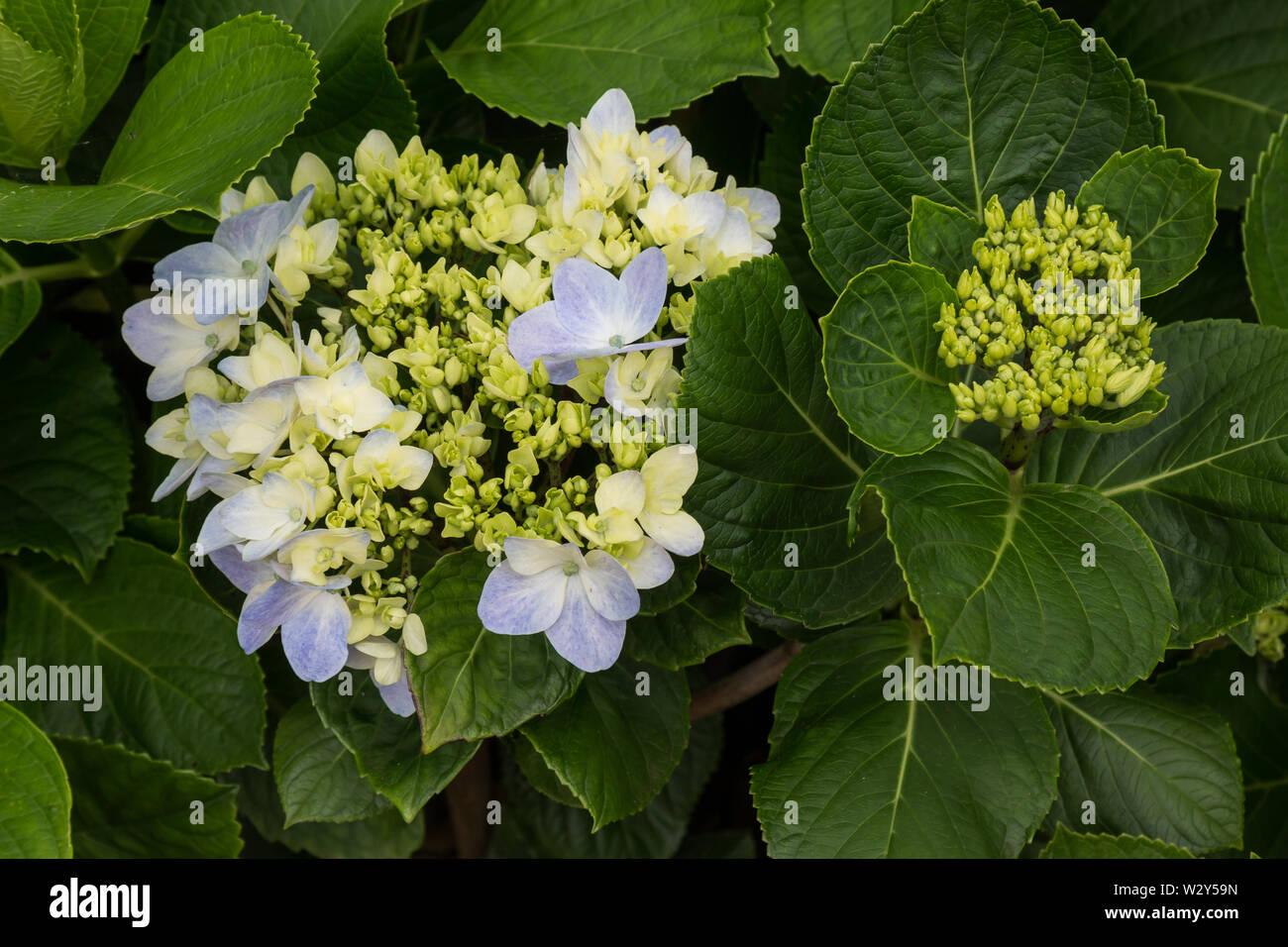 Big Leaf Hydrangea Stock Photos Big Leaf Hydrangea Stock Images