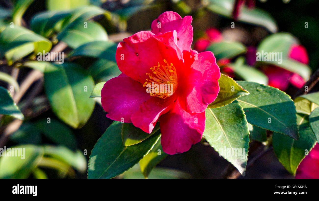 Pink Camellias Stock Photos Pink Camellias Stock Images Alamy