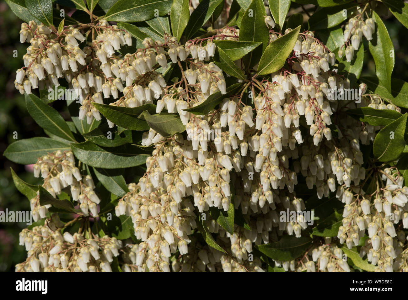 Lily Of The Valley Shrub Stock Photos Lily Of The Valley Shrub