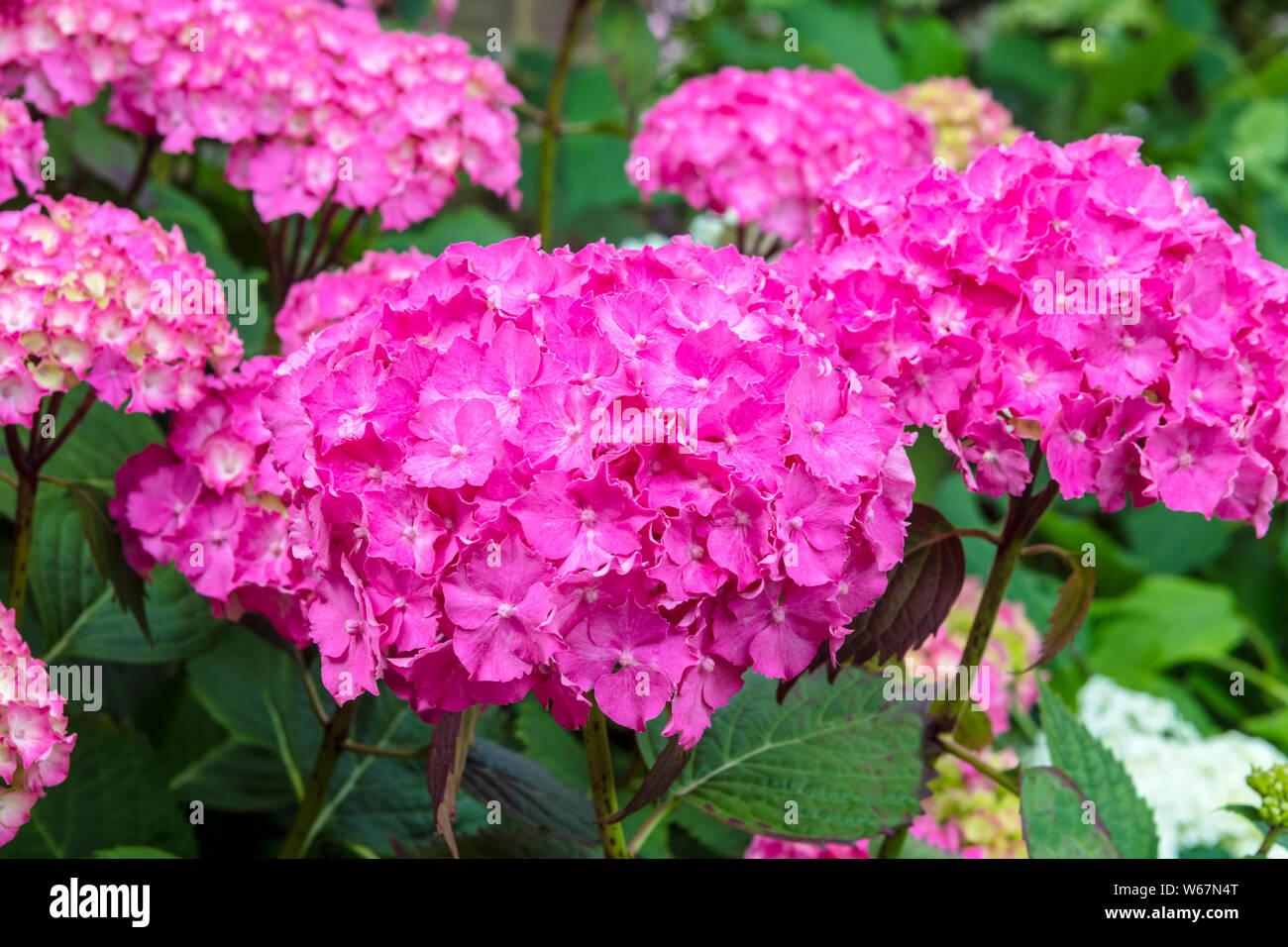 Mop Head Hydrangea Stock Photos Mop Head Hydrangea Stock Images