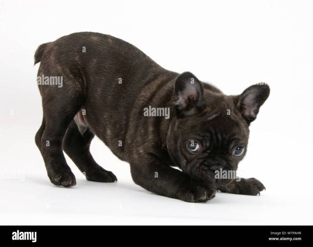 dark brindle french bulldog pup, bacchus, 9 weeks old, in