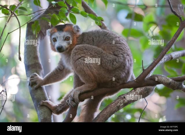 True Lemur or Brown Lemur