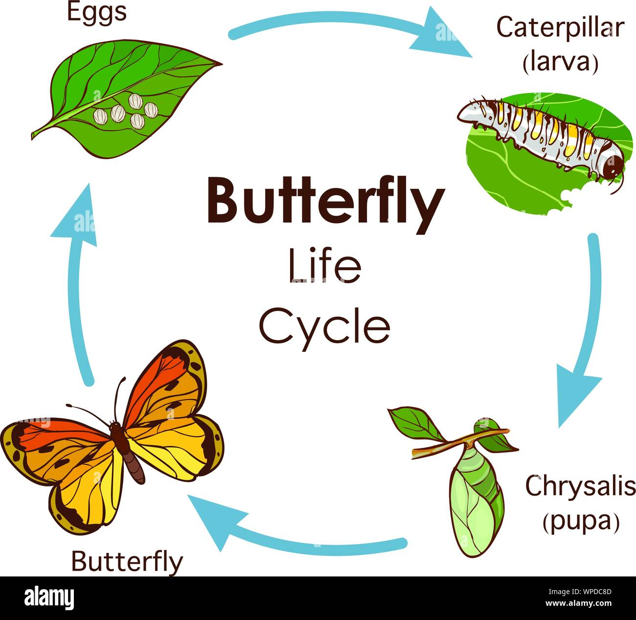 Insect Life Cycle Stock Vector Images