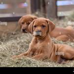 Fox Red Labrador High Resolution Stock Photography And Images Alamy