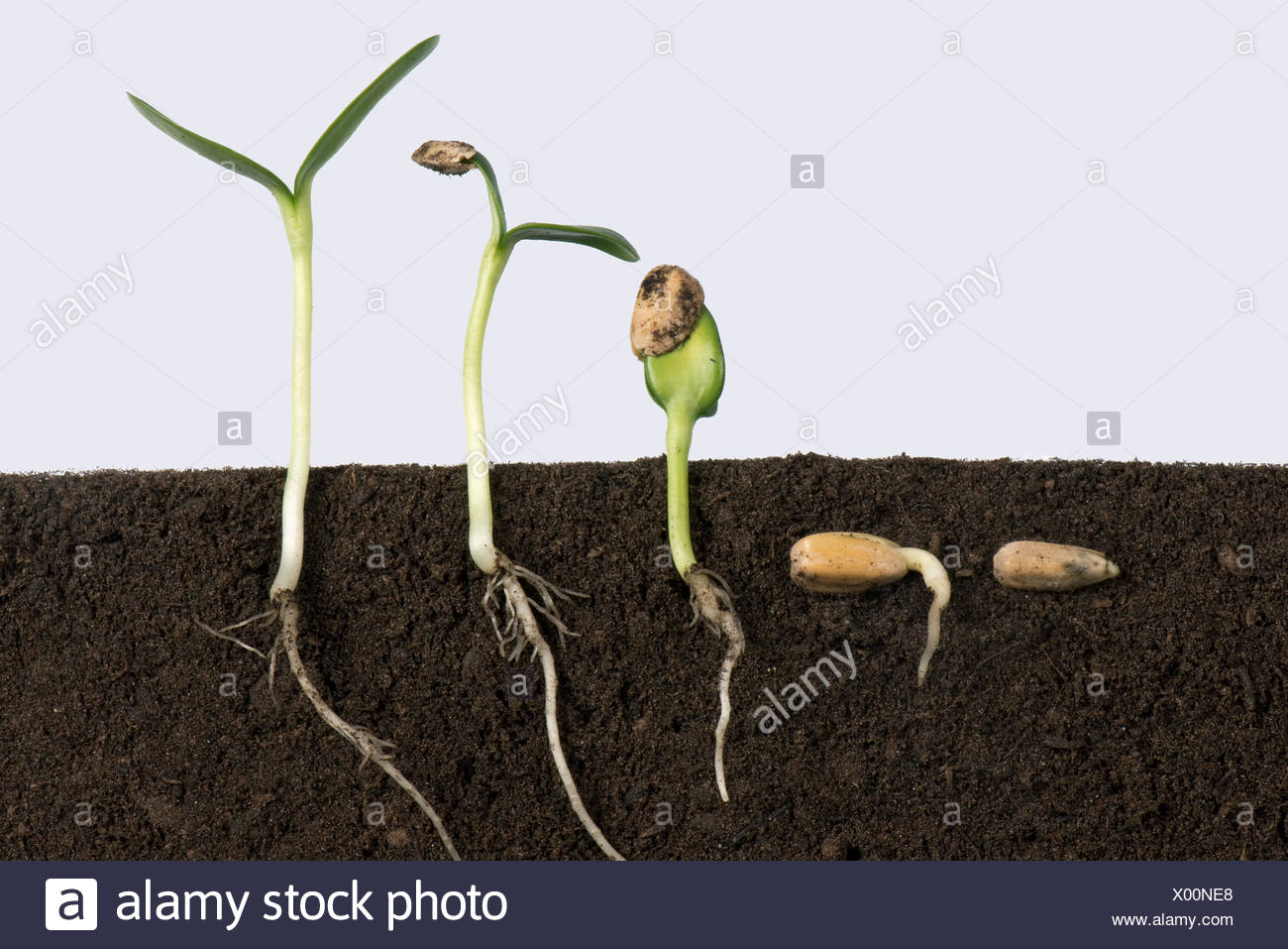 Sequence Of Sunflower Seeds Going Through Various Stages
