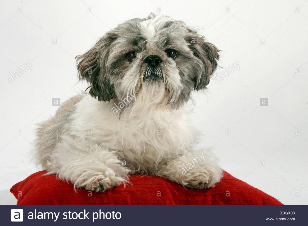 https www alamy com shih tzu lying on pillow image275737507 html