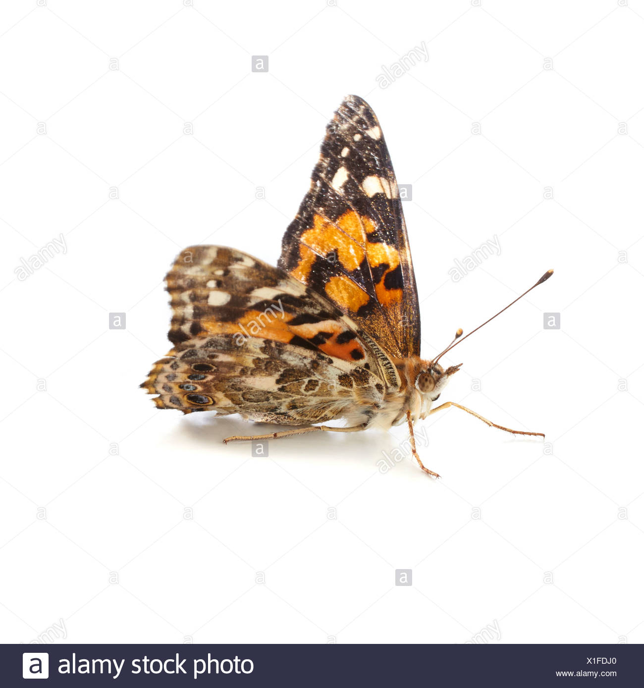 Painted Lady Butterfly Cut Out Stock Images Amp Pictures
