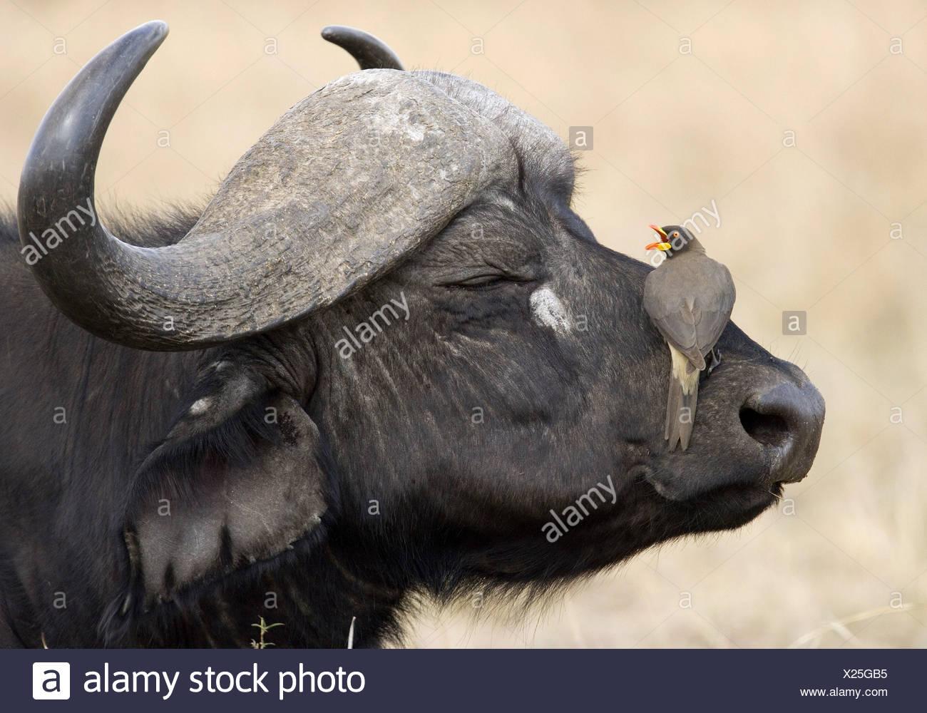 Zoology Animals Mammal Mammalian Bovidae Stock Photos