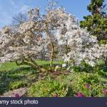 Star Magnolia Magnolia Stellata In Queen Elizabeth Park Vancouver British Columbia Canada Stock Photo Alamy