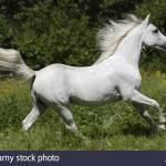 Shagya Arabian Horse Running On Meadow Stock Photo Alamy