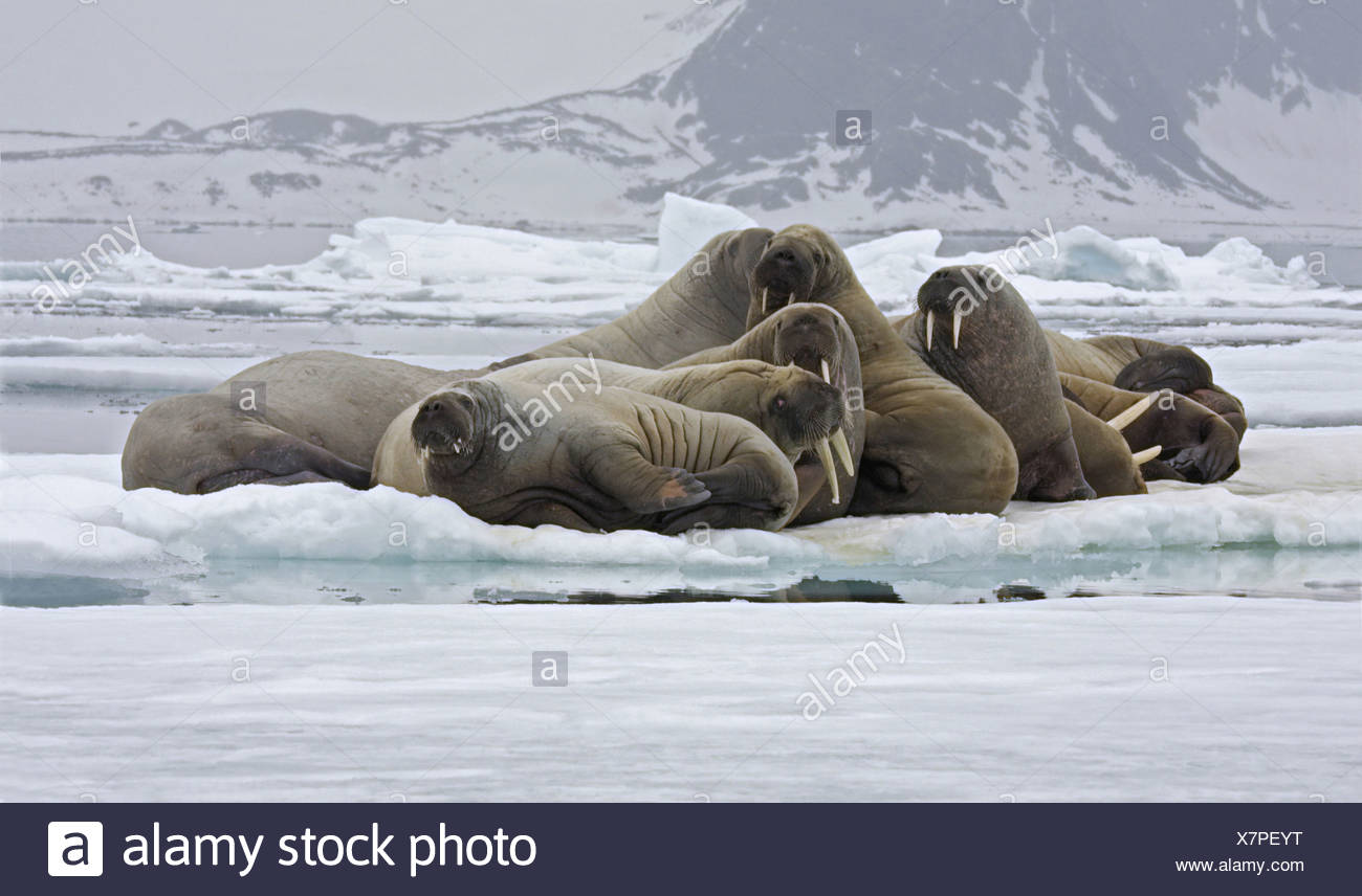 Sea Horse Arctic Walrus Walruses Pinniped Pinnipeds Arctic Mammal Mammals Animal Animals