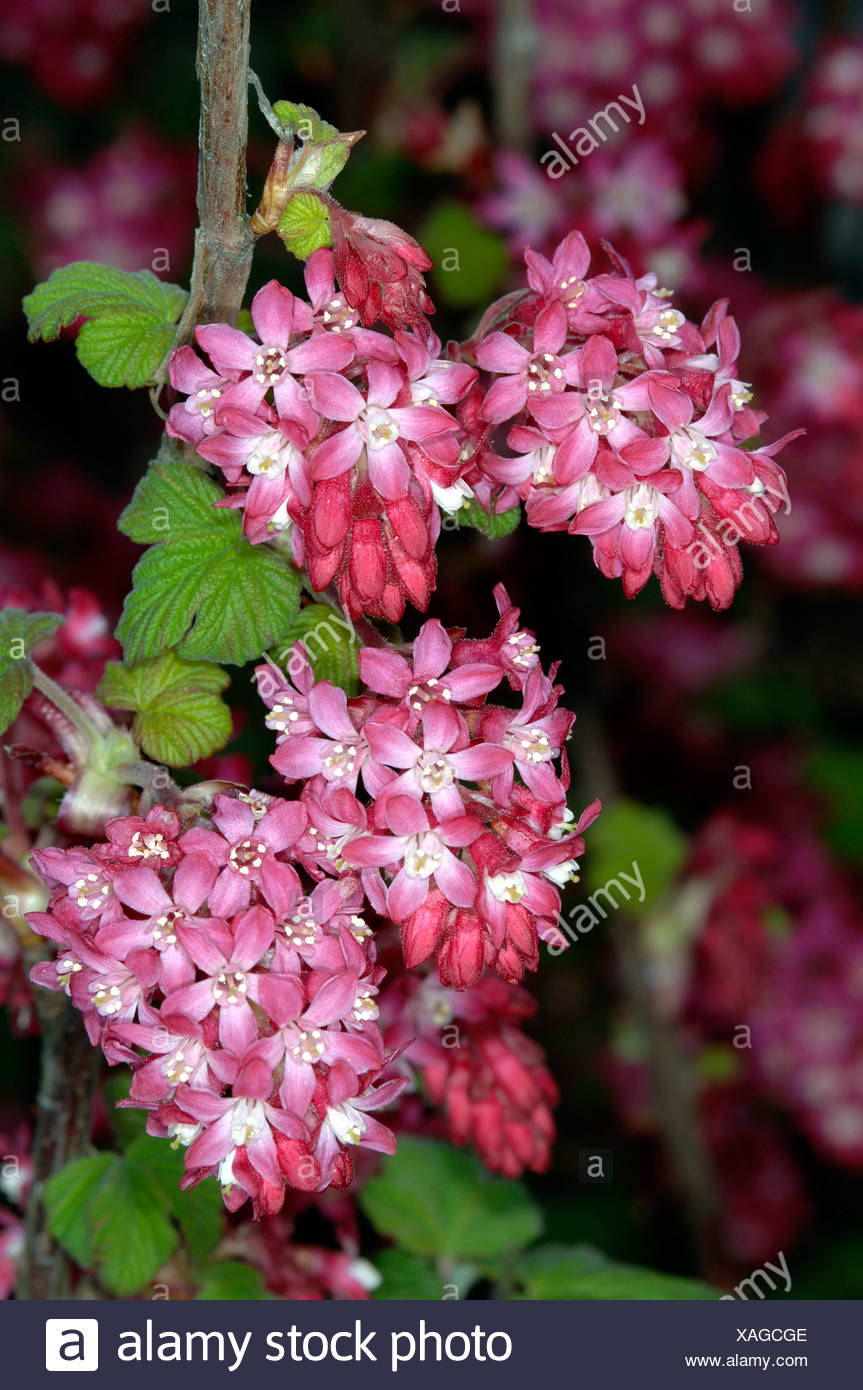 Red Flowering Ribes Stock Photos Red Flowering Ribes Stock