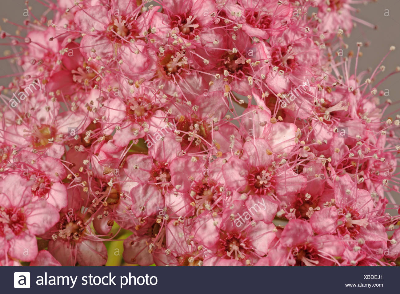 Spiraea Stock Photos Spiraea Stock Images Alamy