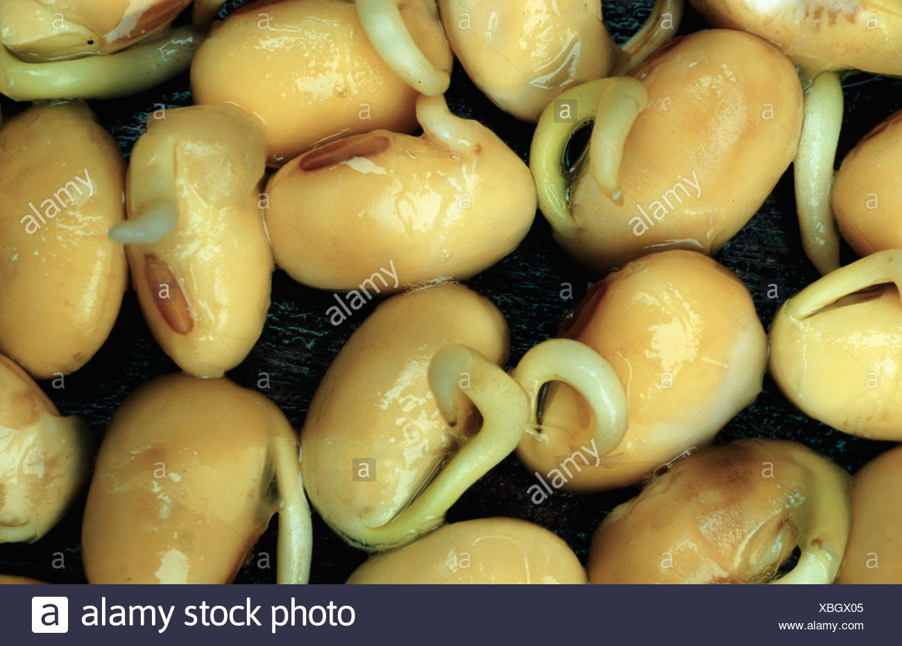 Bean Seeds Germination Stock Photos Amp Bean Seeds Germination Stock Images