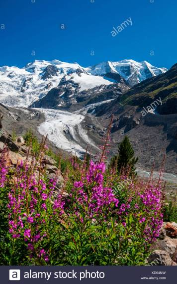Mountain Valley Flowers Snow Stock Photos   Mountain Valley Flowers     Blooming willowherb flowers  epilobium  framing the glacier and the snow capped  peaks of