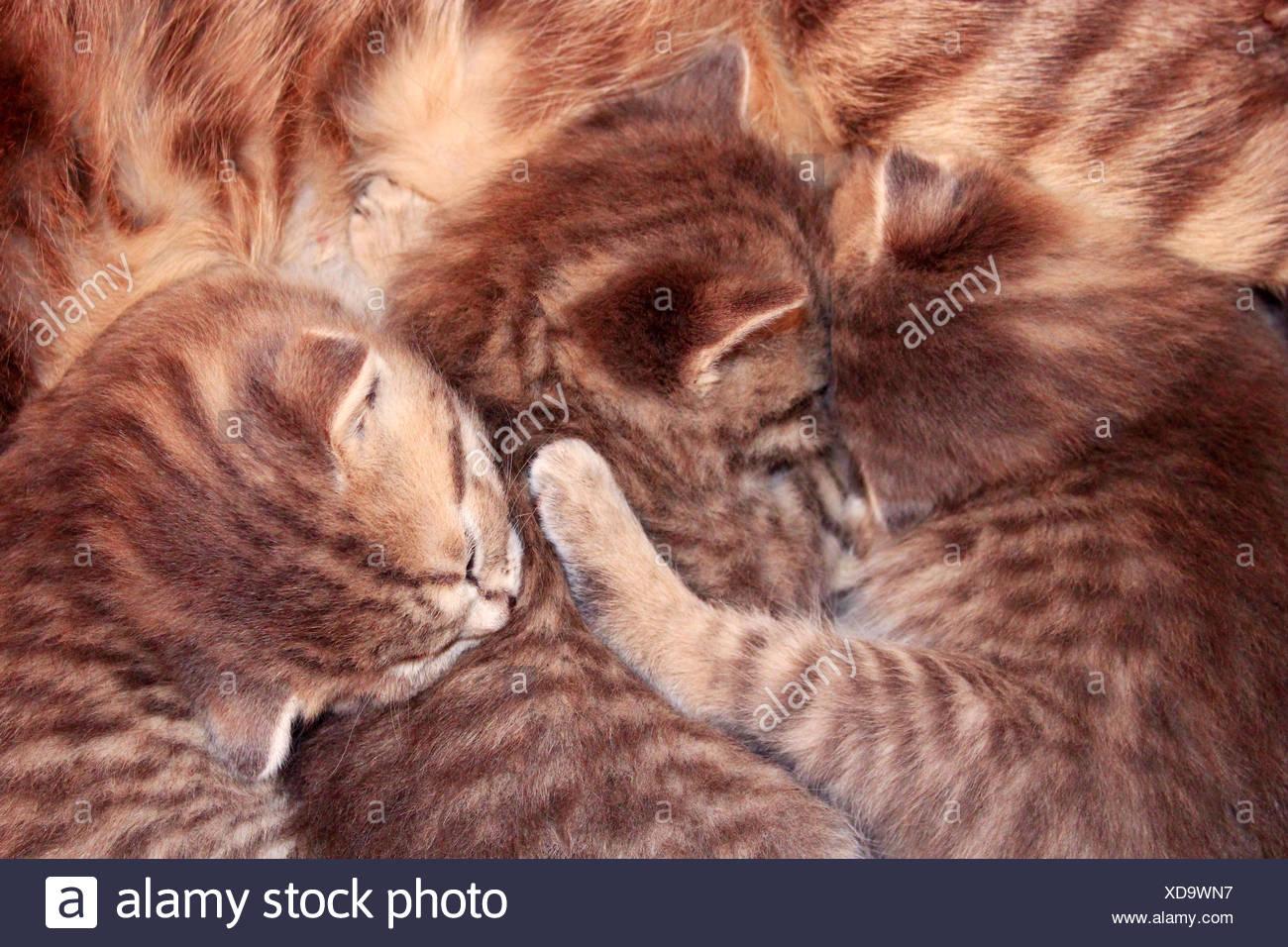 6 Week Old Grey Tabby Kitten