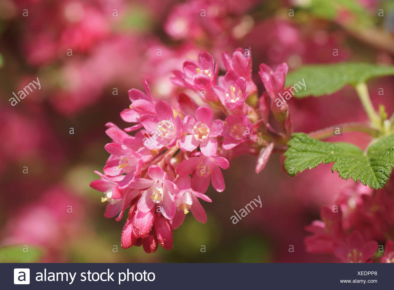 Red Flowering Currant Stock Photos Red Flowering Currant Stock