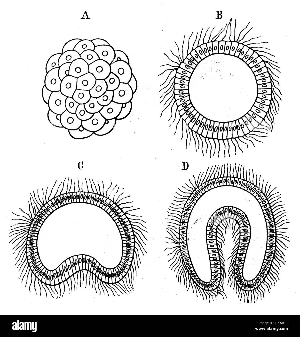 Embryogenese Morula Blastula Gastrula Stockfoto Bild