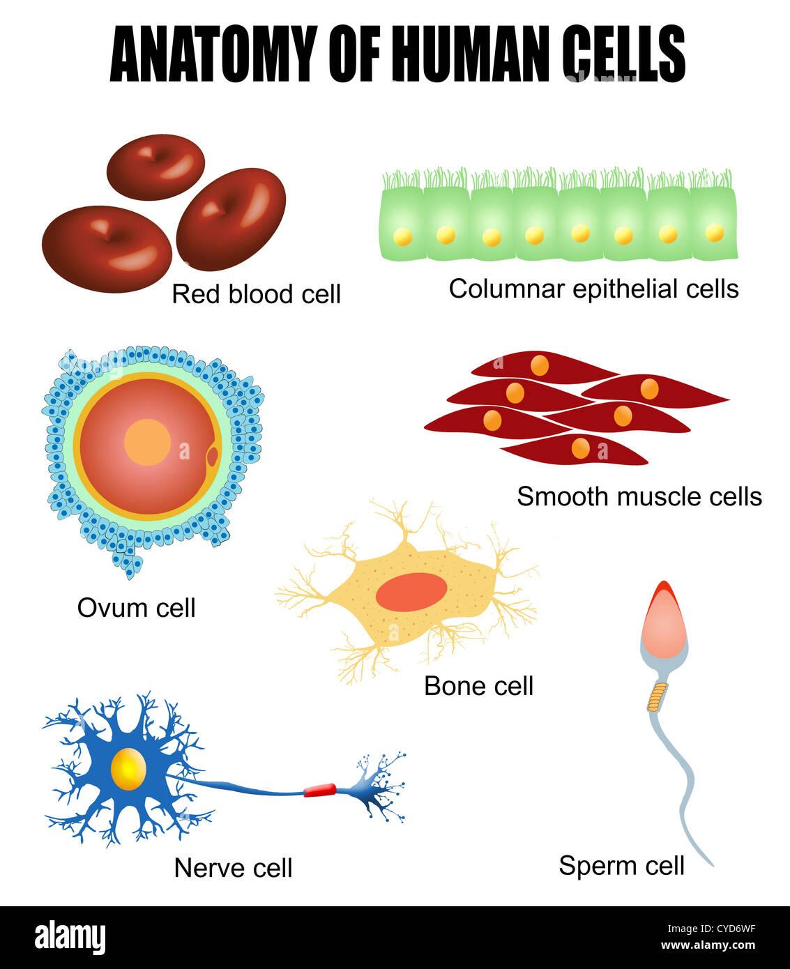Anatomie Der Verschiedenen Menschlichen Zellen Plakat