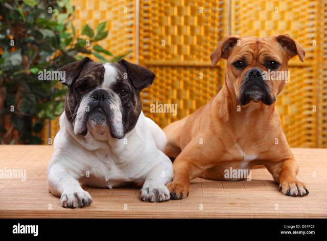 olde english bulldog, hündin, und mixed breed dog (englisch
