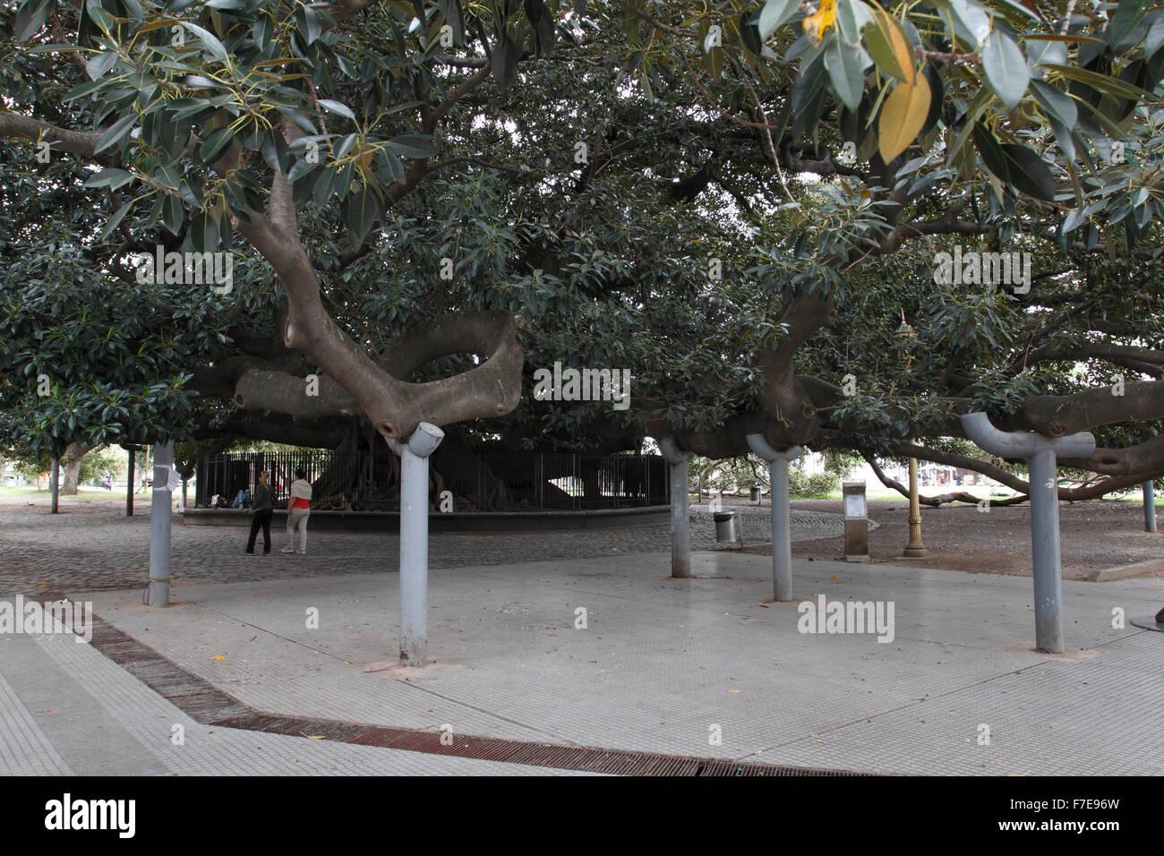 Massive Aufgestützt Baum In Buenos Aires Zu Verbreiten Mit
