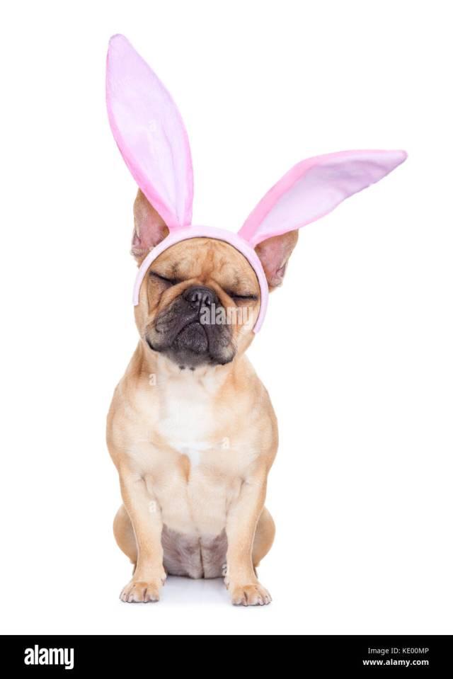 french bulldog rabbit stockfotos & french bulldog rabbit
