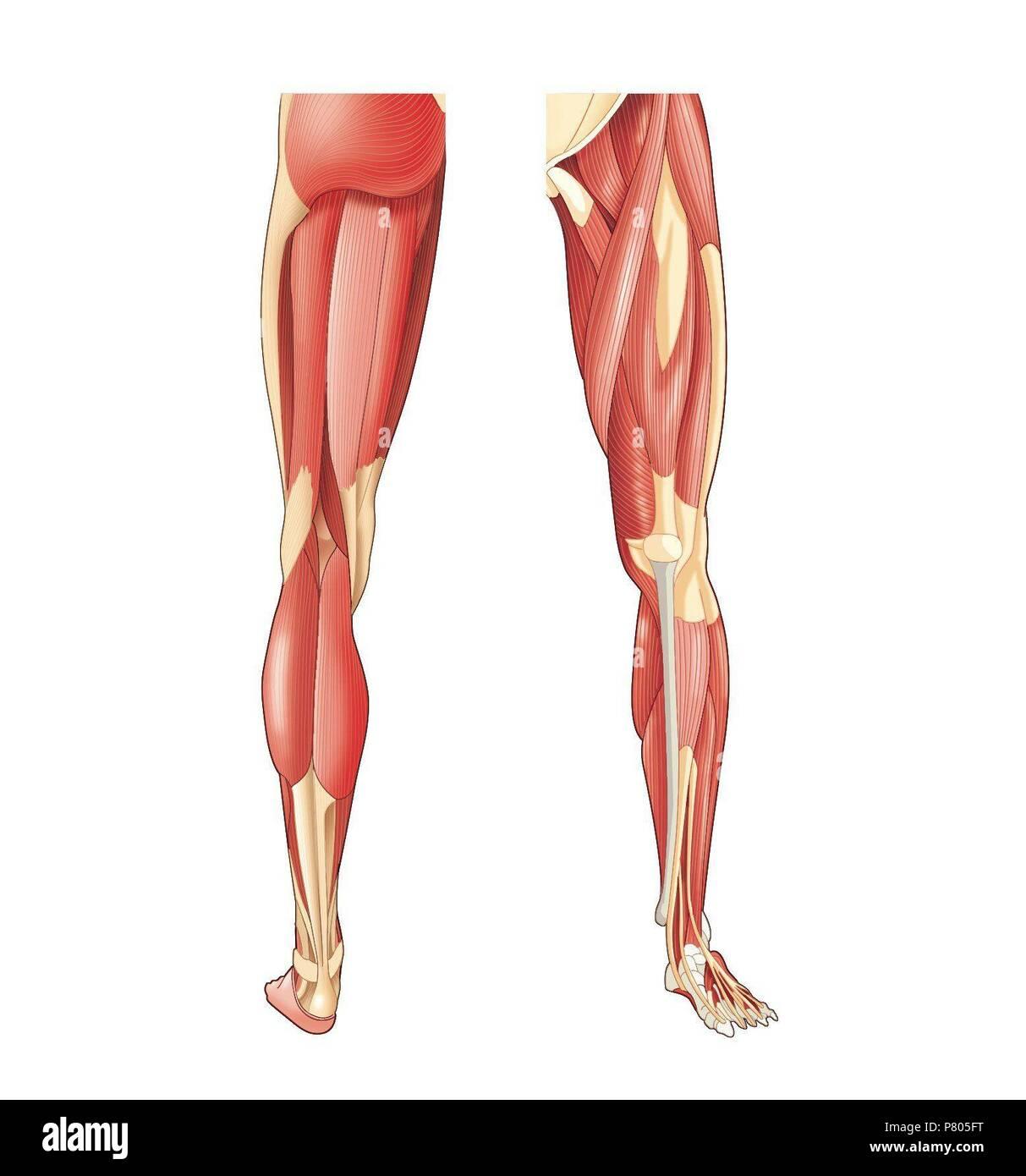 Muskeln Der Unteren Extremitaten Stockfoto Bild