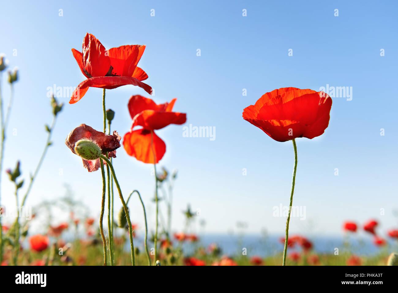 Schone Rote Mohnblumen Auf Der Grunen Wiese Stockfotografie Alamy