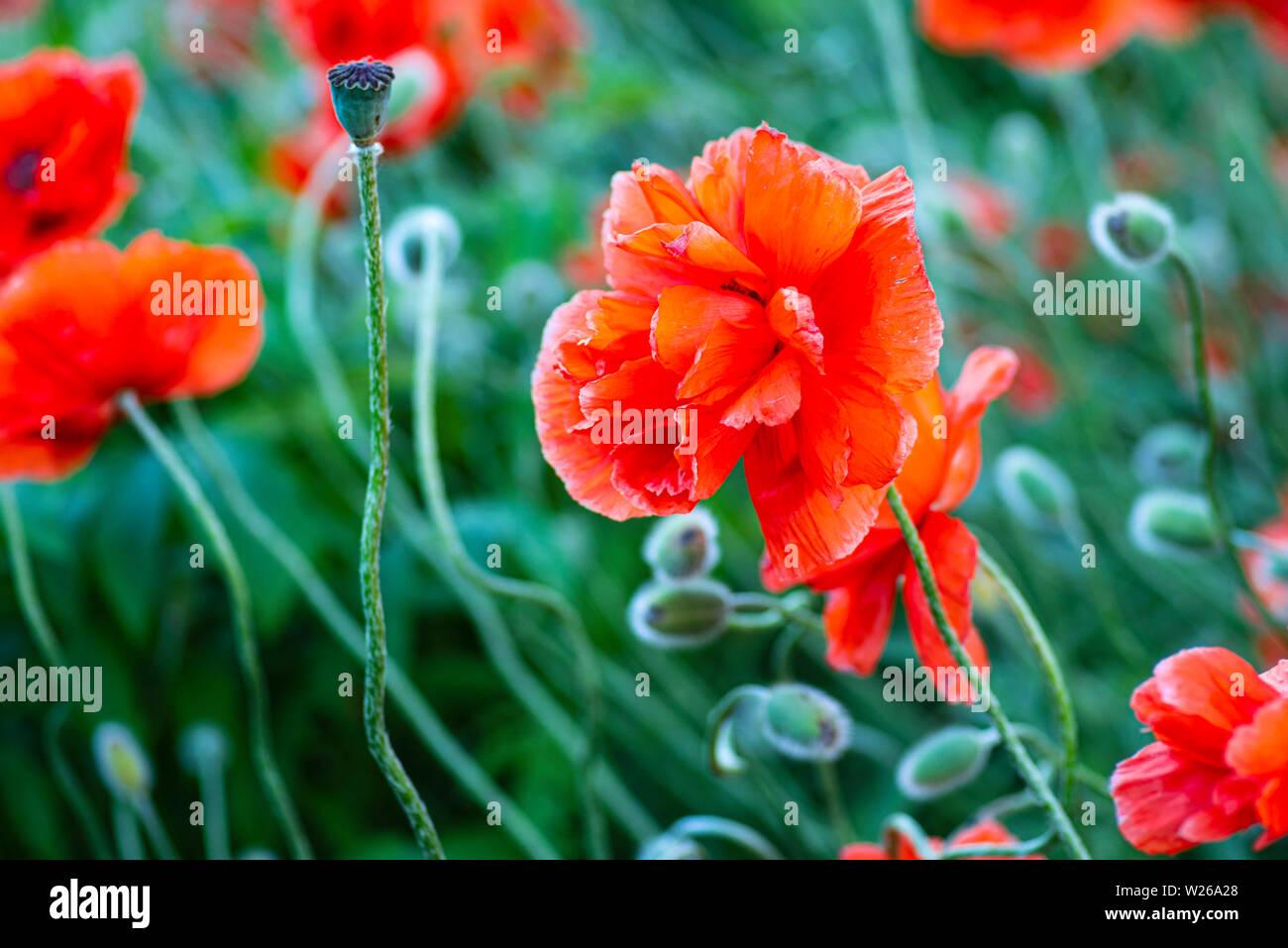 3200 Rote Mohnblumen Auf Dem Konigsplatz Munchen Sz De