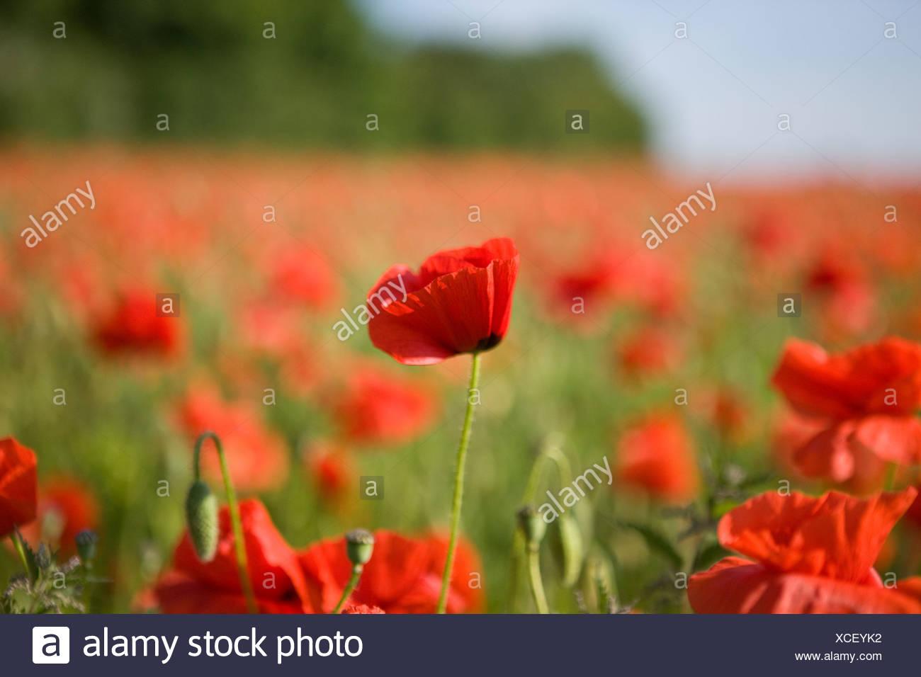Merch And Beauties Rote Mohnblumen Mit Filigranen Blattern