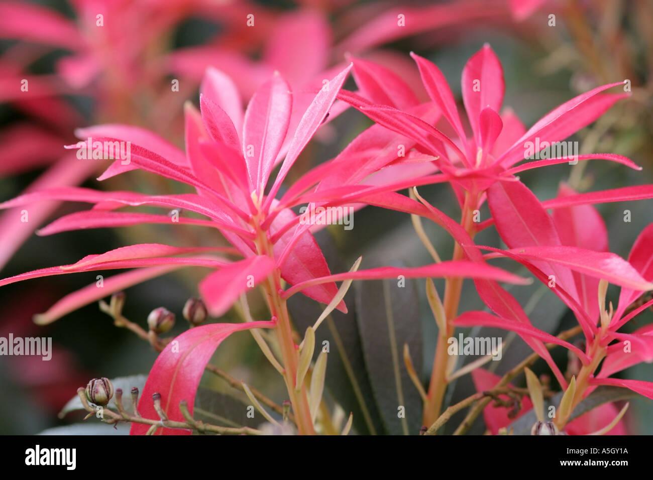 Pieris Shrub Photos Pieris Shrub Images Page 9 Alamy