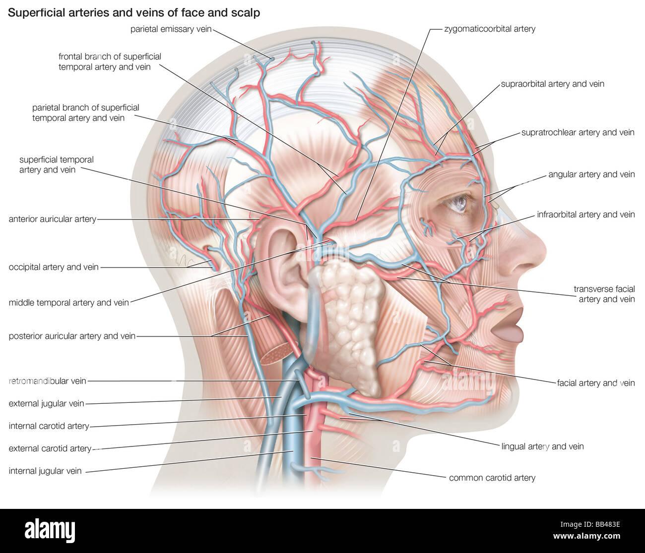 Arteres Et Veines Superficielles De La Face Et Du Cuir