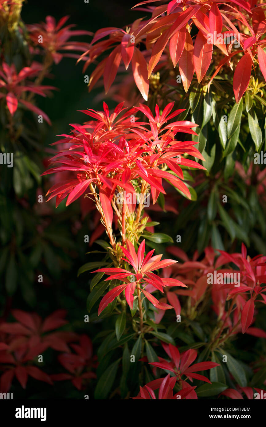Pieris Red Leaves Photos Pieris Red Leaves Images Alamy