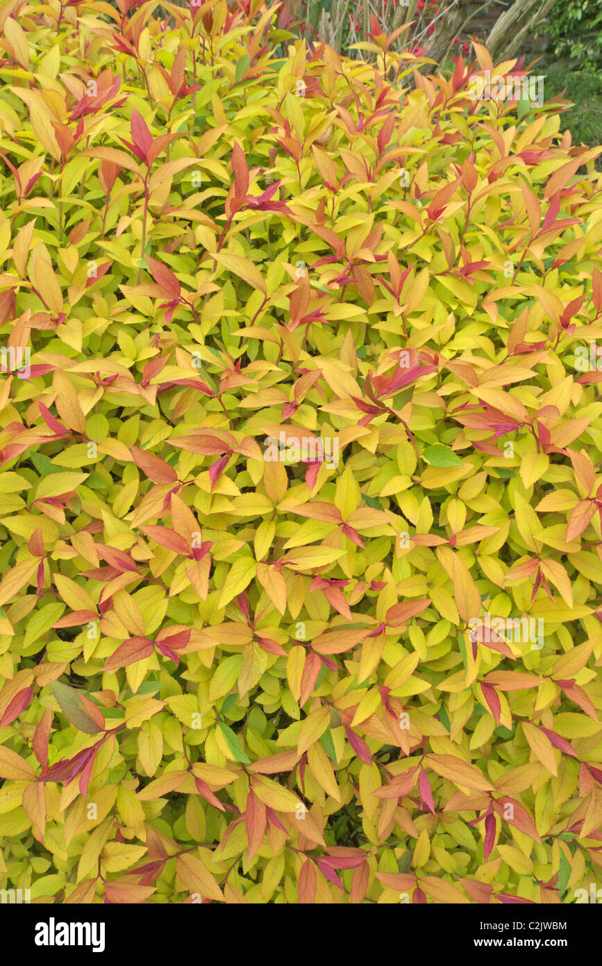 Spirea Foliage Photos Spirea Foliage Images Alamy