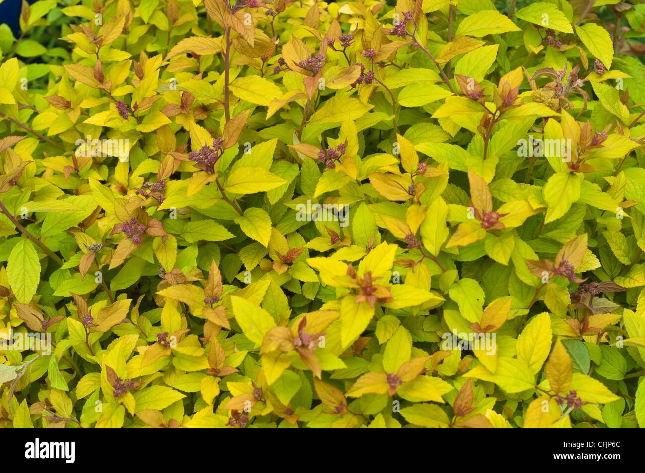 Spirea Foliage Photos Spirea Foliage Images Alamy