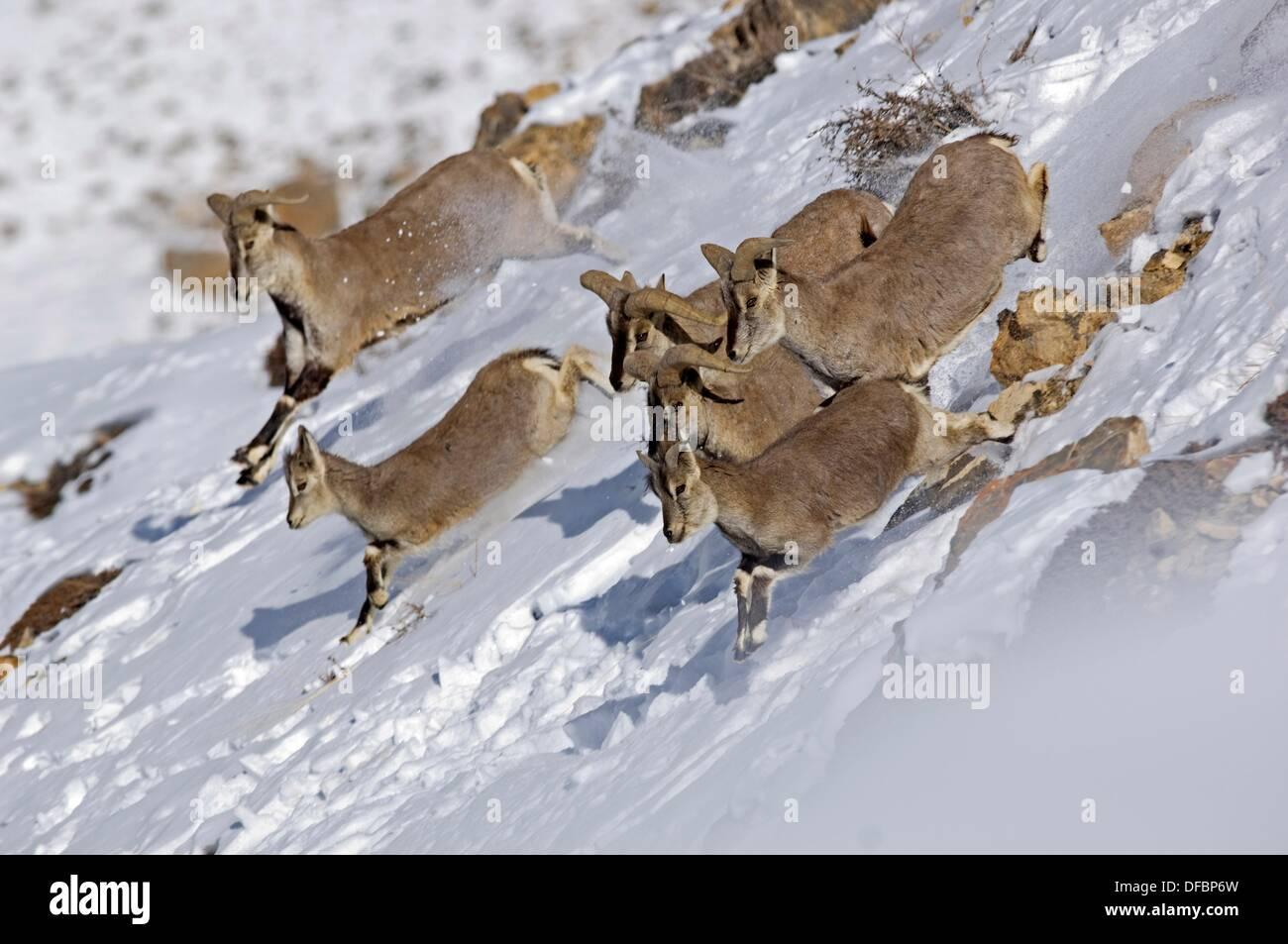 https www alamyimages fr le bharal ou bleu de l himalaya ou de moutons pseudois nayaur naur est un caprid trouves dans le haut himalaya du nepal tibet chine image61109857 html