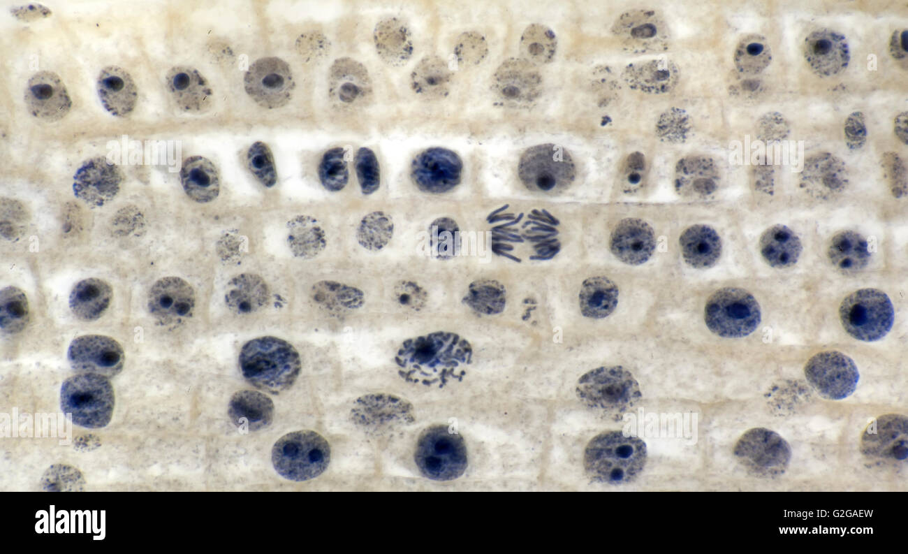 La Division Cellulaire La Mitose En Extremite De La Racine