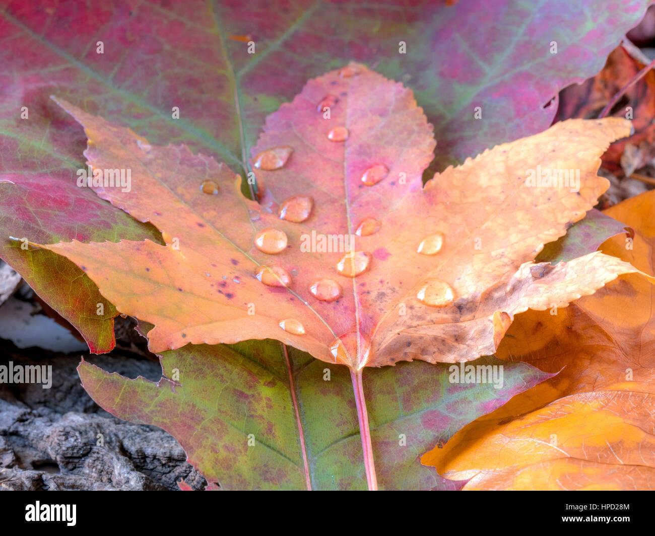https www alamyimages fr photo image feuille d erable de l automne avec de petites gouttes d eau a meme le sol forestier 134282196 html
