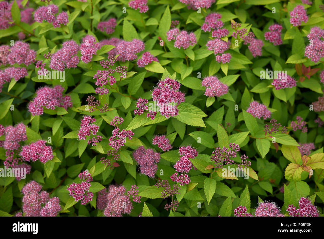 Spiraea Bumalda Banque D Images Photo Stock 216621653 Alamy