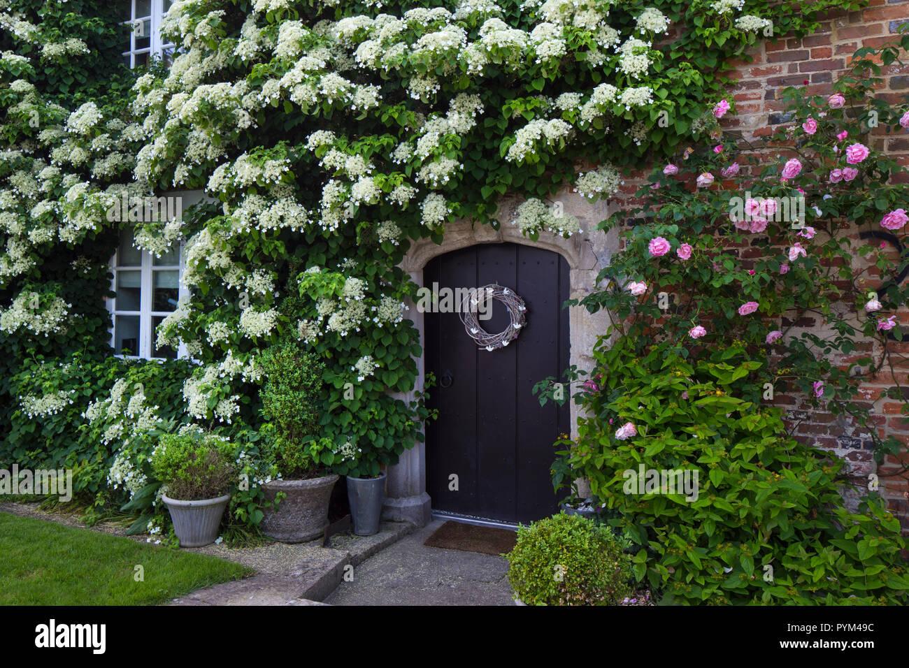 Hortensia Grimpant Photos Hortensia Grimpant Images Alamy