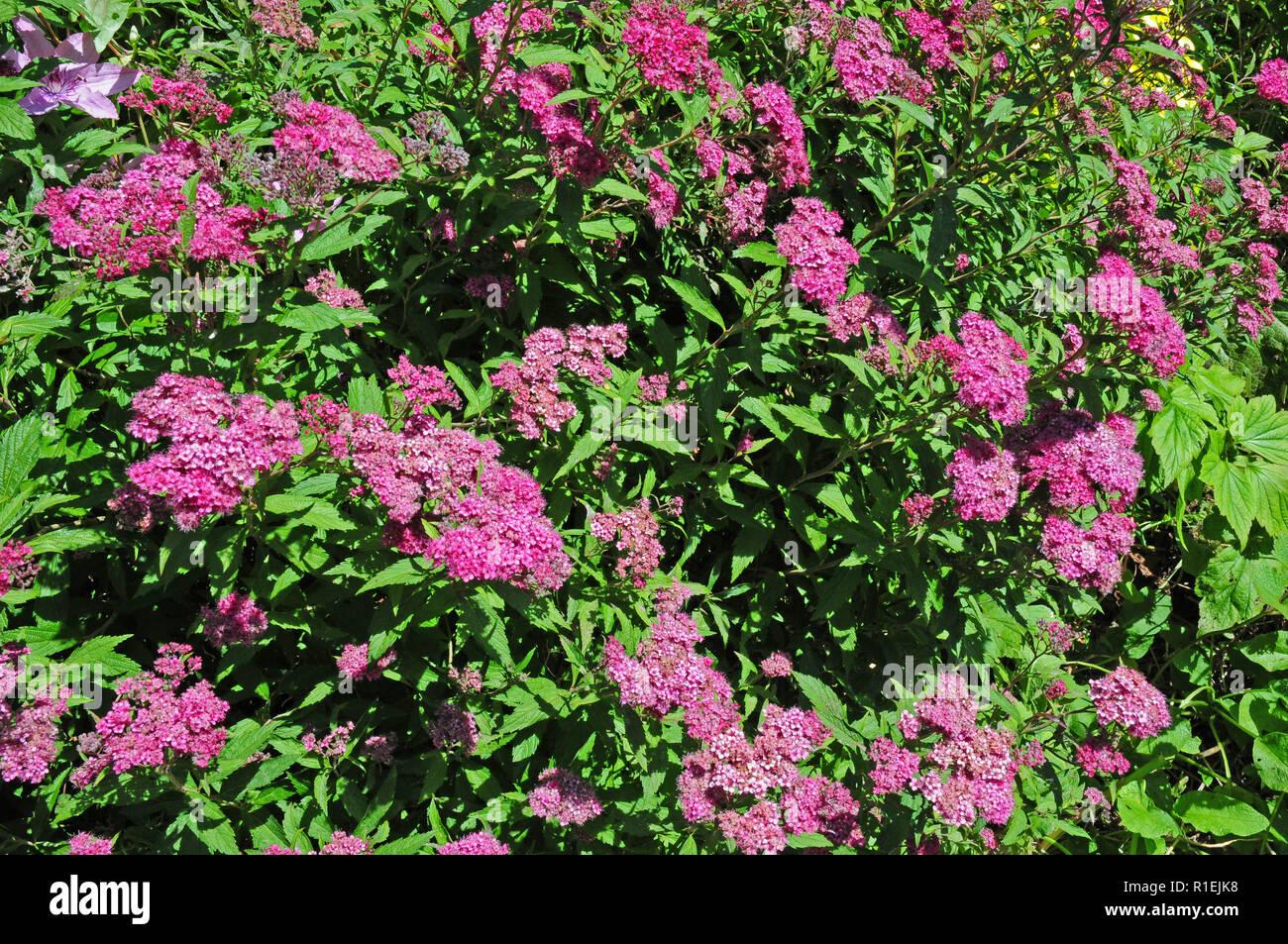 Arbuste A Feuilles Caduques Arbuste A Feuilles Caduques Fleur Rose