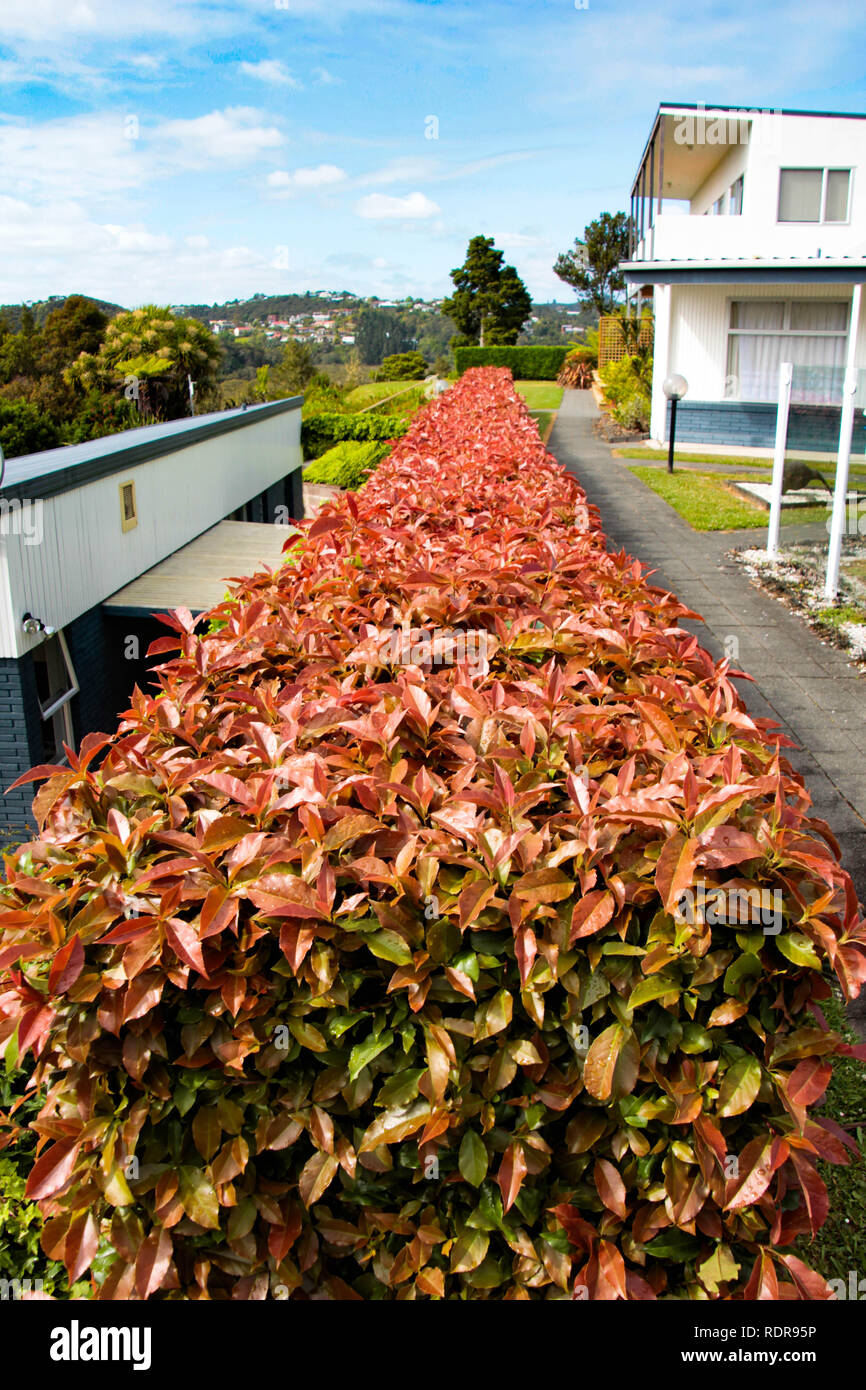 Photinia Red Robin Photos Photinia Red Robin Images Alamy